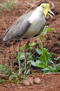 Masked Lapwing guarding eggs - photographed on Frank & Dianne Sciacca's farm.