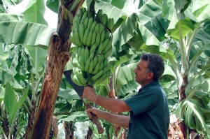 Ecoganic™ bananas are harvested by hand. Our pickers use a cane knife to cut the branch and lower the fruit onto their shoulders.